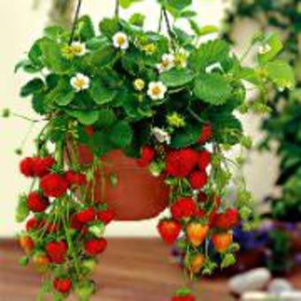 Per chi ha un pezzetto di terra fragoline di bosco for Vasi per fragole