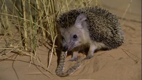 592539964-erizo-del-desierto-culebra-animal-animal-de-captura-arena-naturaleza.jpg